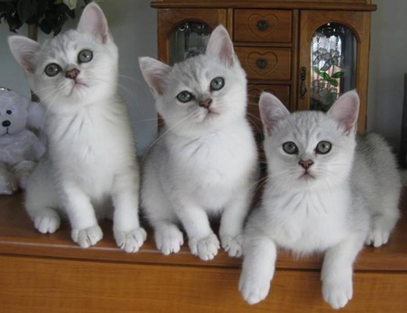 Ocicat: Kočka s tváří ocelota