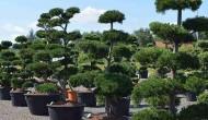 Pořizujete okrasný strom do vaší zahrady? Vsaďte na cesmínu vroubkovanou